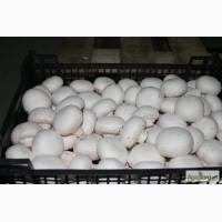 Продам грибы шампиньоны