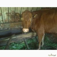 Прадом корову