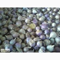 Продам однозубку чеснока Любаша мелкую среднюю и крупную. семена