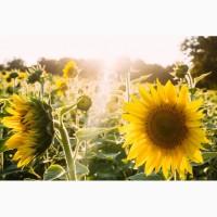 Насіння гібриду соняшнику Дозор