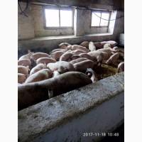 Компания ЭТНОПРОДУКТ-ЮГ реализует поросят и откорм свиней