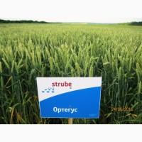 Високоякісна нова озима пшениця ОРТЕГУС (ШТРУБЕ, Німеччина) для інтенсивної технології