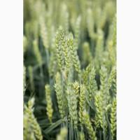 Продам насіння озимої пшениці Кубус
