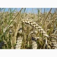 Семена озимой пшеницы Богдана-элита