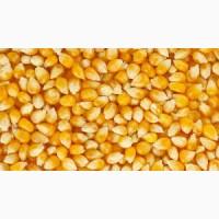 Крупнооптовая закупка кукурузы