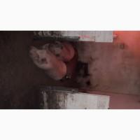 Свиноматки молодые