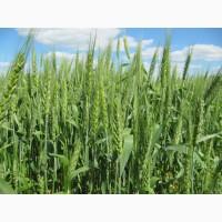 Пшениця озима Лист 25