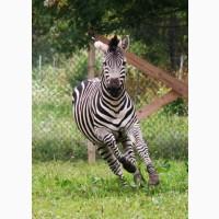 Фрізька зелена зебра для усиновлення