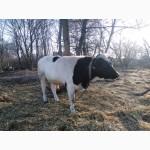 Продається бик на відгодівлю