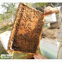 Продам пчелопакеты карпатской породы пчел