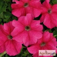 Продам семена петунии Мистрал темно-розовая F1