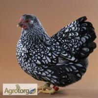 Продаю суточные и подрощенные цыплята Доминант. Вывод 18.05.2016