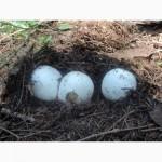Продається настойка натурального гриба Веселки на самогоні