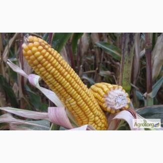 Семена кукурузы гибрида Солонянский 298 СВ (F1) от производителя. (ФАО 310)