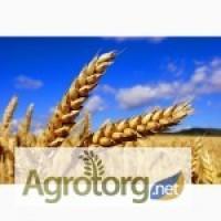Канадская пшеница. Сорт. Тесла, Днепропетровская обл. Цена10 000 грн