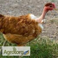 Суточные цыплята кур Голошейки (испанка), МастерГрей, Редбро с вакцинацией