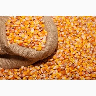 Куплю кукурузу с места
