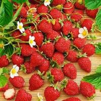 Продам свіжу ягоду суниці садової