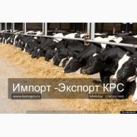 Продам коров дойных, нетелей молочных пород 1 500 голов КРС