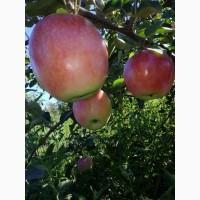 Продам яблоки: сорт Слава