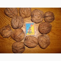 Саджаці крупного горіха