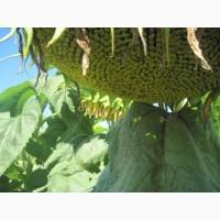 ЖАЛОН F1 насіння соняшника: екстра, стандарт