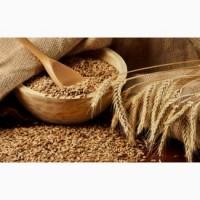 Куплю пшеницу фураж в больших количествах от 35 т