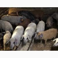 Свинки на племя породы Венгерская Мангалица 1, 5- 2месяца