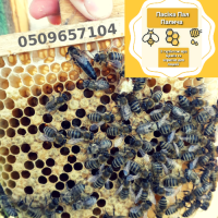 Продам ПЛІДНІ матки. БДЖОЛИННІ МАТКИ Карпатка/пчелиные матки