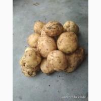 Продам картоплю сорт рівера