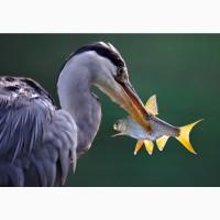 Закупка Речной Охлажденной Рыбы Круглый Год в Киевской олбласти