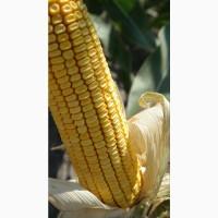 Семена кукурузы ДБ Бурштын