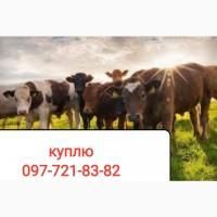 Приём крупного рогатого скота (дорого)