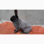 Кролики Полтавське срібло