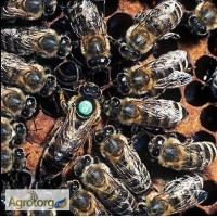 Пчеломатки-Бджоломатки карпатка-карніка