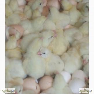 Инкубационное яйцо КОББ-500