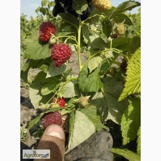 Продам ягоды малины урожай 2017года