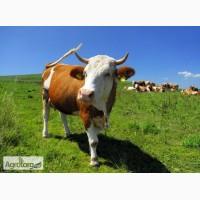 Куплю коров живым весом от 30 голов