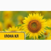 Продам семена подсолнечника Илона КЛ