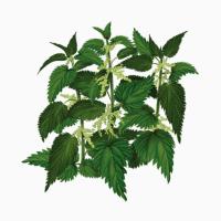 Куплю кропиву чистотіл цвіт бузини