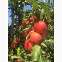 Продажа яблок: Гала, урожай 2018 г