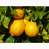 Продаем лимон Турция оптом