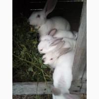 Продам або обміняю(хочу пролиття крові зробити в господарстві)кроленят та кролиць породи