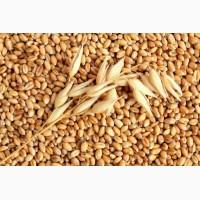Крупная компания на постоянной основе и на выгодных условиях закупает пшеницу