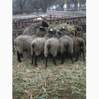 Романовские овцы, овцематки