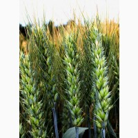 Семена озимой пшеницы Сталева, урожайность 86, 2 ц/га