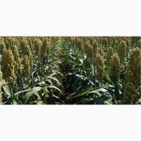 Семена сахарного сорго Г1990, G1990, 140-150 суток