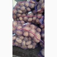 Продам посадочный картофель Галла-40 тонн. 7.80 грн с места.Реальный продавец