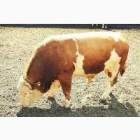 Фермерское хозяйство закупает бычки до 350 кг