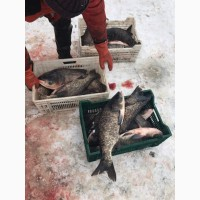 Живая рыба! Толстолобик гибрид